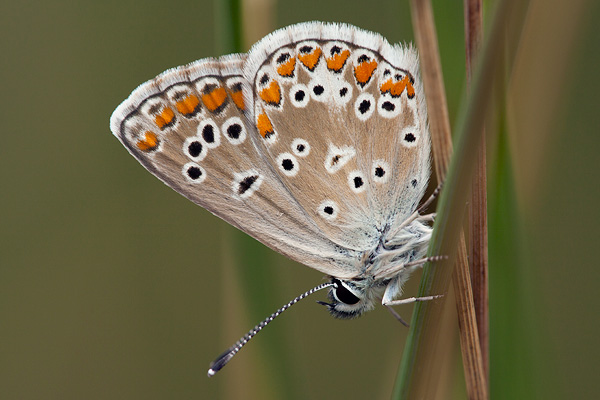 Aricia-artaxerxes-Fabricius-1793-Golubyanka-artaksersk