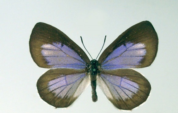 Artopoetes-pryeri-Murray-1873-Zefir-Praiera1.jpg