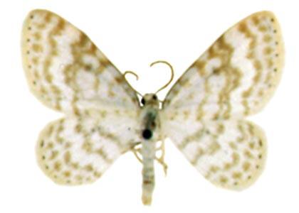 Asthena-albulata-Pyadenica-pogremkovaya.jpg
