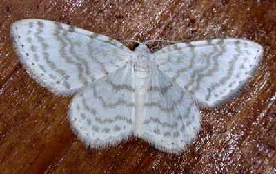 Asthena-albulata-Pyadenica-pogremkovaya1.jpg