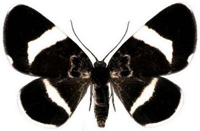 Baptria-tibiale-Pyadenica-traurnaya1.jpg