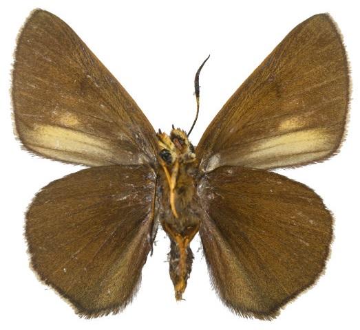 Bibasis-aquilina-Bibasis-orlinaya