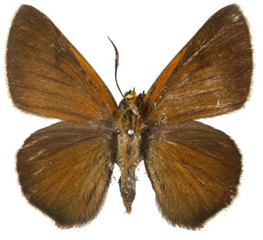 Bibasis-aquilina-Bibasis-orlinaya1.jpg