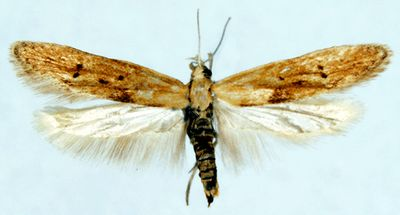 Blastobasis-decolorella1.jpg