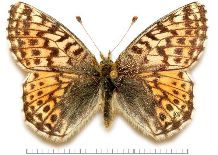 Boloria-alaskensis-Holland-1900-Boloriya-alyaskinskaya1.jpg