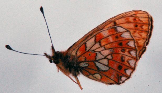 Boloria-oscarus-Eversmann-1844-Perlamutrovka-oskar1.jpg