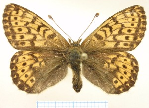 Boloria-tritonia-Bober-1812-Perlamutrovka-tritoniya