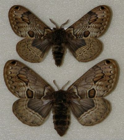 Brahmaea_(Acanthobrahmaea)_europaea-Brameya_evropeiskaya1.jpg