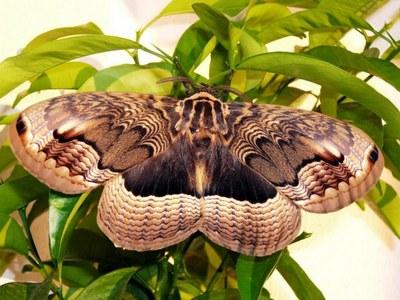 Brahmaea_certhia-Brameya_dalnevostochnaya.jpg