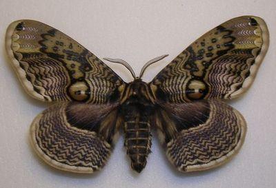 Brahmaea_japonica-Brameya_yaponskaya.jpg