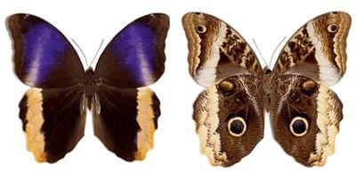 Caligo-atreus-Kaligo-Atrei1.jpg