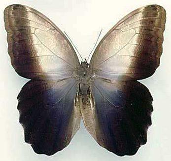 Caligo-prometheus-Kaligo-Prometei.jpg