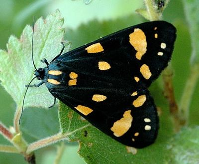 Callimorpha-dominula-Medvedica-gospozha1.jpg