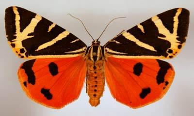 Callimorpha-quadripunctaria-Medvedica-chetyrehtochechnaya-ili-Medvedica-gera.jpg