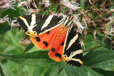 Callimorpha-quadripunctaria-Medvedica-chetyrehtochechnaya-ili-Medvedica-gera1.jpg