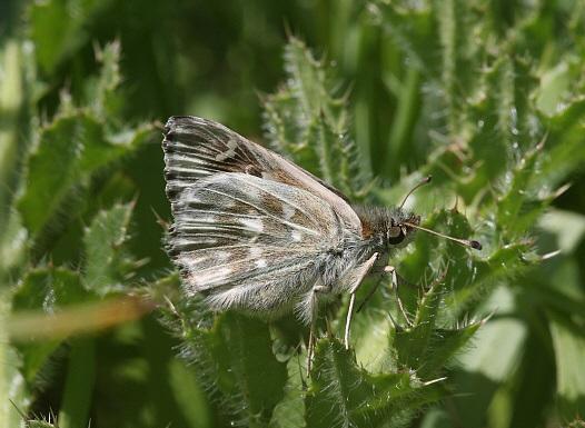 Carcharodus-flocciferus-Tolstogolovka-kistenocnaya