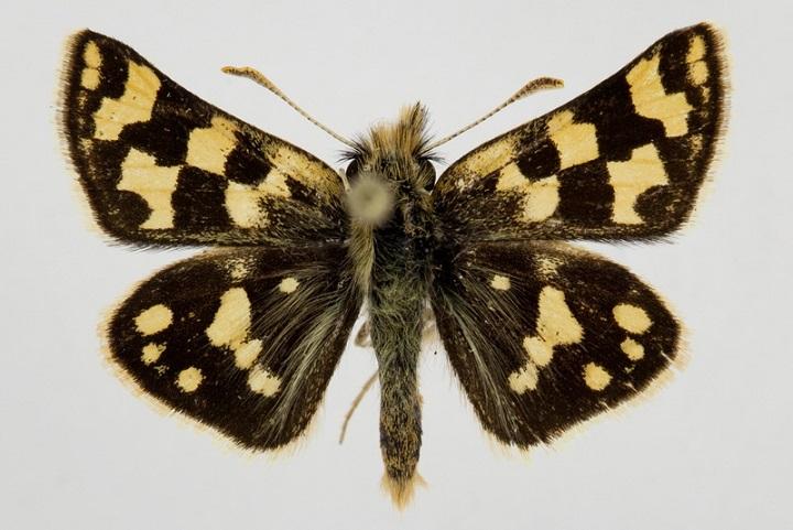 Carterocephalus-argyrostigma-Eversmann-1851-Tolstogolovka-argirostigma1.jpg