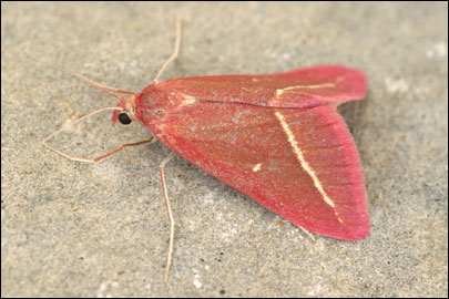 Casilda-antophilaria-Pyadenica-solonchakovaya