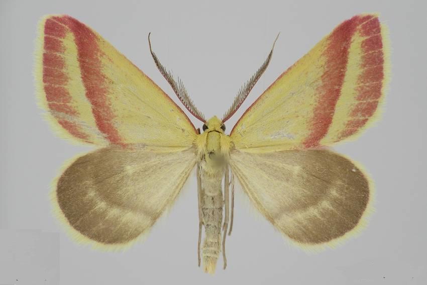 Casilda-antophilaria-Pyadenica-solonchakovaya1.jpg