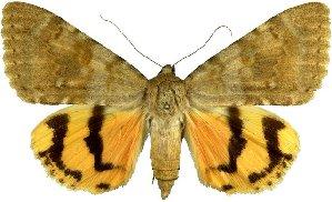 Catocala-lesbia-Ordenskaya-lenta-lesbiia