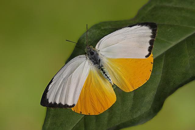 Catopsilia_scylla.JPG
