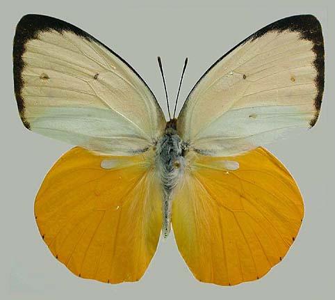 Catopsilia_scylla1.JPG