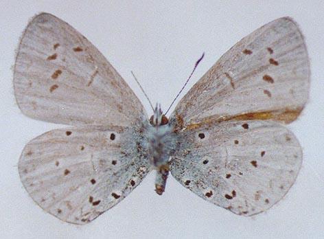 Celastrina-phellodendroni-Omelko-et-Omelko-1987-Golubyanka-barhatnaya1.jpg