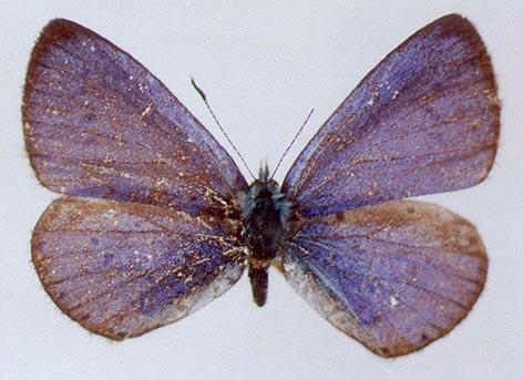 Celastrina-phellodendroni-Omelko-et-Omelko-1987-Golubyanka-barhatnaya2.jpg