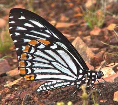 Chilasa-clytia-(Papilio-clytia)-Hilaza_klitiya.jpg