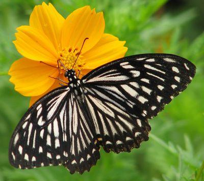 Chilasa-clytia-(Papilio-clytia)-Hilaza_klitiya1.jpg