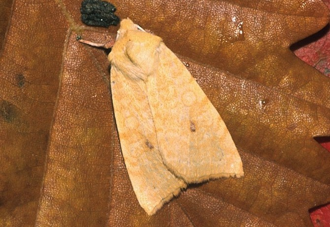 Cirrhia-icteritia-Sovka-zolotistaya-malinnaya