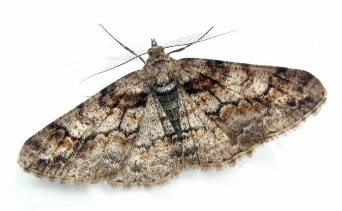 Cleora-cinctaria-Pyadenica-Dymchataya-rannyaya