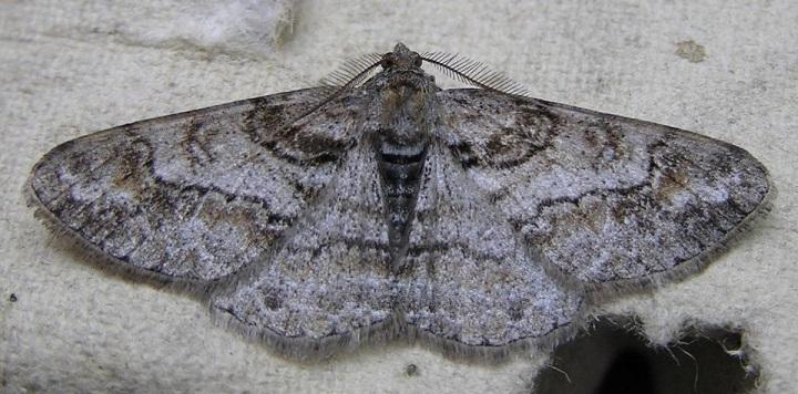Cleora-cinctaria-Pyadenica-Dymchataya-rannyaya1.jpg