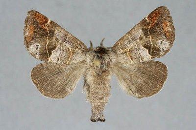 Clostera-pigra-Kistochnica-Medlitelnaya-ili-Kistochnica-malaya.jpg