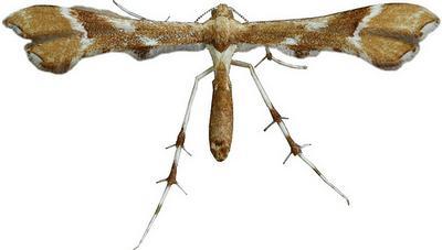 Cnaemidophorus-rhododactyla-Palcekrylka-krasnopalaya.jpg
