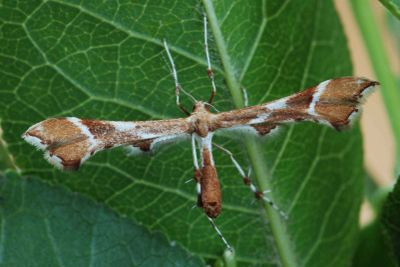 Cnaemidophorus-rhododactyla-Palcekrylka-krasnopalaya1.jpg