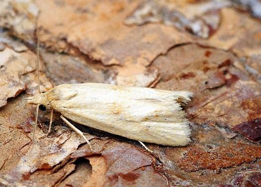 Cochylimorpha-meridiana-Listovertka-iuzhnaia