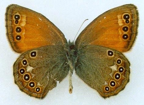 Coenonympha-amaryllis-Stoll-1782-Sennica-Amarillis