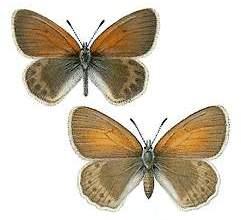 Coenonympha-gardetta1.jpg