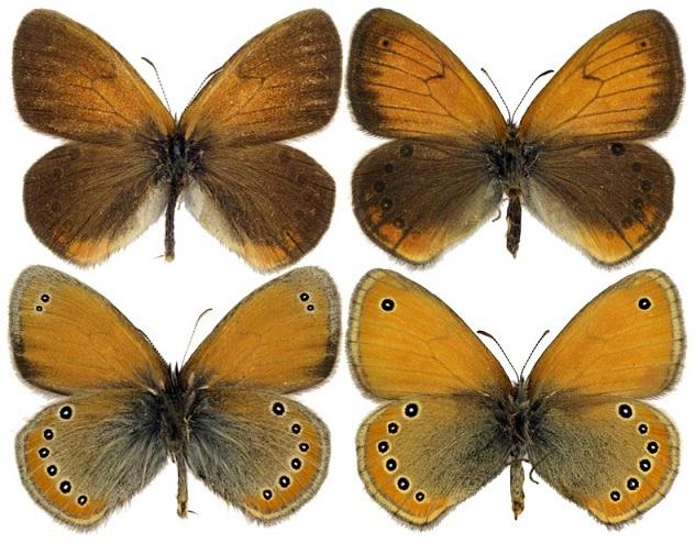 Coenonympha-leander-Esper-1784-Sennica-leandr