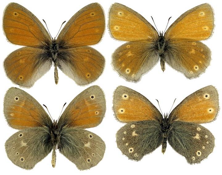 Coenonympha-tullia-Muller-1764-Sennica-tulliya