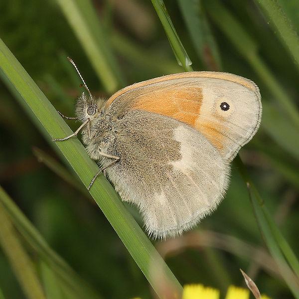 Coenonympha-tullia-Sennica-torfyanaya.jpg
