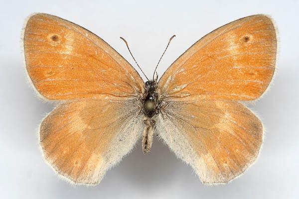 Coenonympha-tullia-Sennica-torfyanaya1.jpg