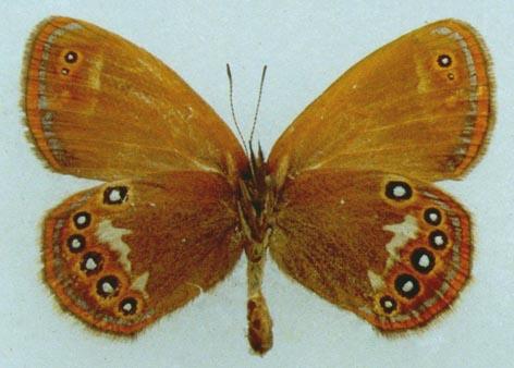 Coenonympha_glycerion1.JPG