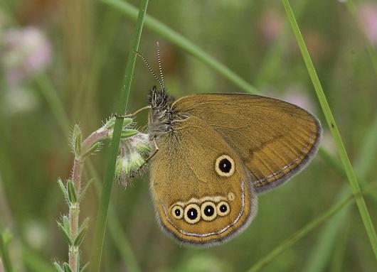 Coenonympha_oedippus.JPG