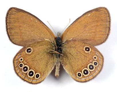 Coenonympha_oedippus1.JPG