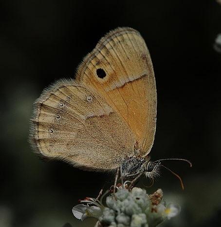 Coenonympha_saadi2.JPG