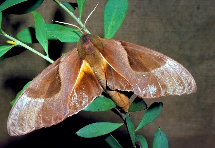 Coequosa-triangularis-Brazhnik-triangulyaris
