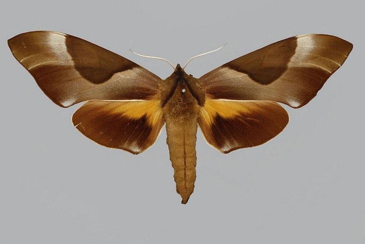Coequosa-triangularis-Brazhnik-triangulyaris2.jpg