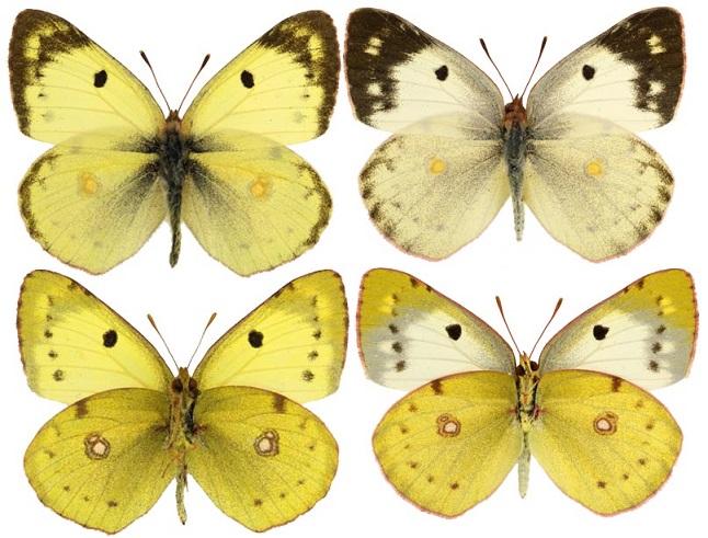 Colias-alfacariensis-Ribbe-1905-Zheltushka-youzhnaya1.jpg